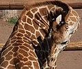 Giraffe 4 (3309042457).jpg
