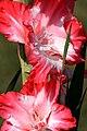 Gladiolus IMG 6614.JPG