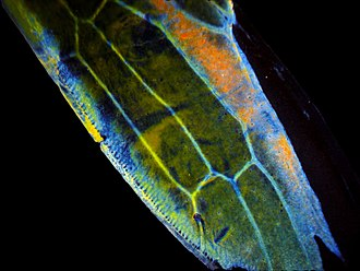 Chitin - A close-up of the wing of a leafhopper; the wing is composed of chitin.