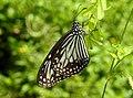 Glassy Tiger Parantica aglea by Dr. Raju Kasambe DSCN9884 (7).jpg