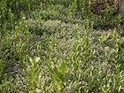 Glinus lotoides (6903841216).jpg