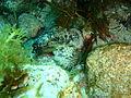 Glyptauchen panduratus Goblinfish P1021071.JPG