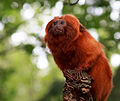 Golde lion tamarin portrait 4.jpg