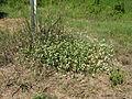 Gomphrena celosioides plant7 (14623485561).jpg