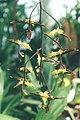 Gongora-maculata.jpg