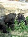 Gorilla gorilla 02.JPG
