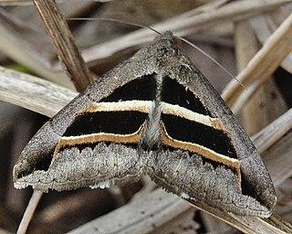 <i>Grammodes geometrica</i> Species of moth