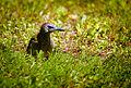 Grasspecker? (19145178245).jpg