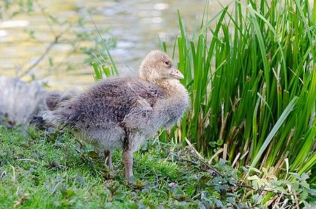 Gray goose (Anser anser)