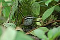 Gray-breasted Wood-Wren 2015-06-05 (1) (25439335367).jpg