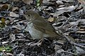Gray-cheeked Thrush Sabine Woods High Island TX 2018-04-26 08-56-33 (27221236977).jpg
