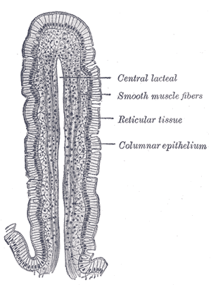 Intestinal villus - Image: Gray 1059