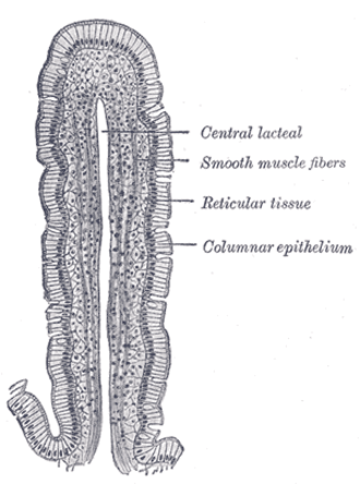 Simple columnar epithelium - Image: Gray 1059