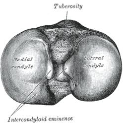 condyle anatomy wikipedia