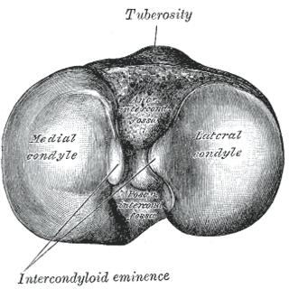 Intercondylar area