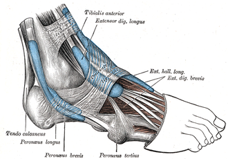 Inferior extensor retinaculum of foot - The mucous sheaths of the tendons around the ankle. Lateral aspect.