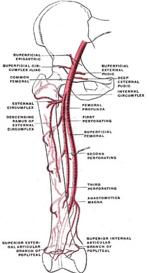 Deep external pudendal artery - Scheme of the femoral artery.