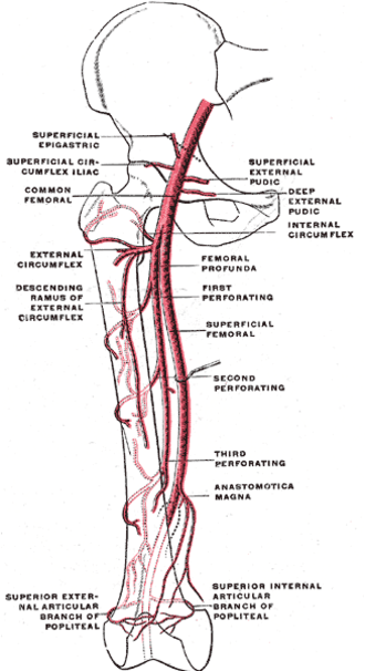 Deep artery of the thigh - The profunda femoris artery,  femoral artery and their major branches - right thigh, anterior view. (Femoral profunda labeled at right center.)