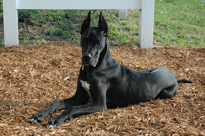 File:Great Dane black laying.jpg