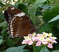 Great Eggfly u-s.^ Hypolimnas bolina jacintha - Flickr - gailhampshire.jpg