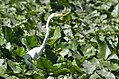 Great Egret (35481399881).jpg