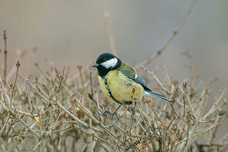Great Tit Lodz(Poland)(js)02.jpg