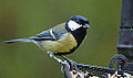 Great Tit on Tray (10612305334).jpg