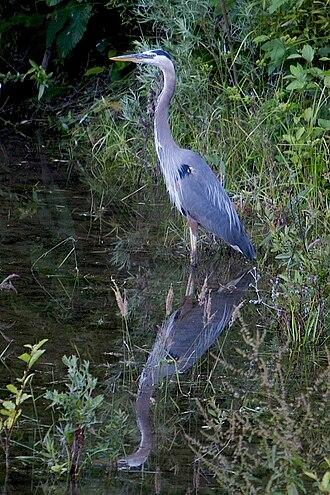 Los Gatos Creek (Santa Clara County, California) - Great blue heron reflected in Los Gatos Creek