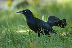 Greater Antillean Grackle - Cuba S4E1117 (23889326295).jpg