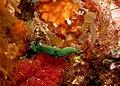 Green Nudibranch - Poor Knights Islands.jpg