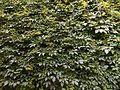 Green Wall Varenna Italy.jpg