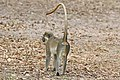 Green monkey (Chlorocebus sabaeus) male rear.jpg