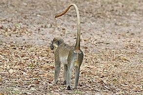 Green monkey - Wikipedia