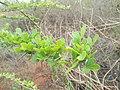 Greenish leaves.jpg
