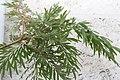 Grevillea robusta 16zz.jpg