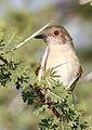 Grey-backed Camaroptera, Camaroptera brachyura, at Mapungubwe National Park, Limpopo, South Africa (17508591544).jpg