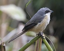 Grey-backed Shrike (Lanius tephronotus).jpg