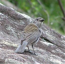 GreyShrike-thrushHarmonica (Zarni02)