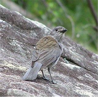 Pachycephalinae subfamily of birds
