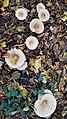 Gronsveld-paddenstoelen in het Savelsbos (4).jpg