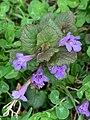 "Ground Ivy or ""Creeping Charlie"" flowering in May, Rye, NY.jpg"