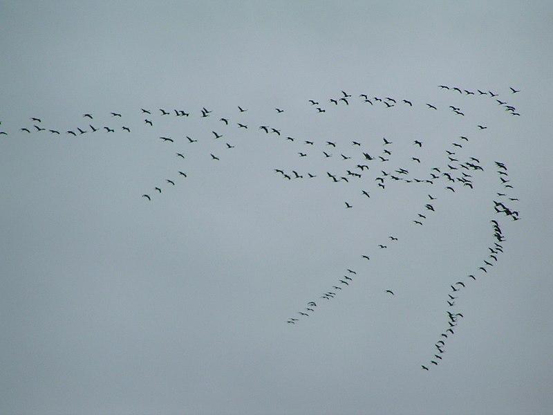 Grus grus migration01.jpg