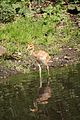 Grus vipio at the Bronx Zoo 009.jpg