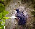 Guarding the nest (18725511294).jpg