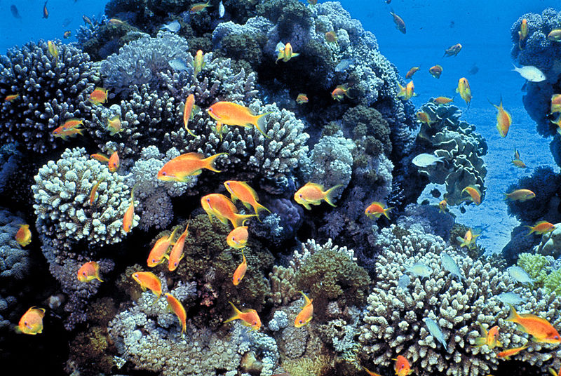 File:Gulf of Eilat (Red Sea) coral reefs.jpg