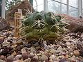 Gymnocalycium monvillei - 03.jpg
