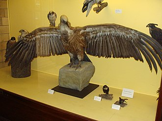 Griffon vulture - A mounted specimen alongside numerous other birds of prey, Natural History Museum, London
