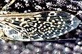 Haematopota.pluvialis.wing.detail.jpg