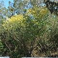 Haematoxylon campechianum wholetree.jpg
