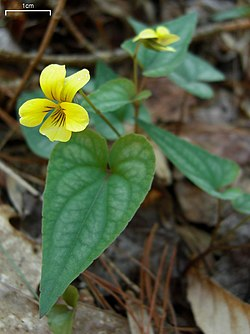 Halberd-Leaf Violet (4526399519).jpg